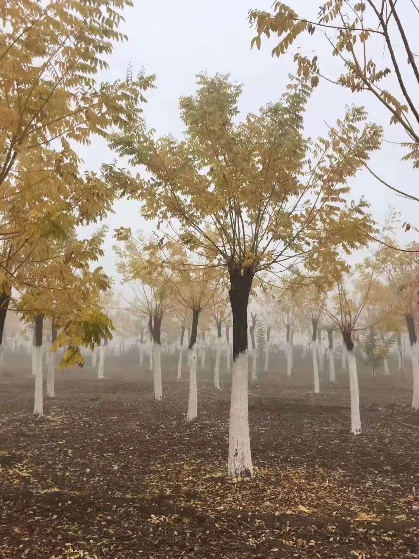 贵州黄金槐