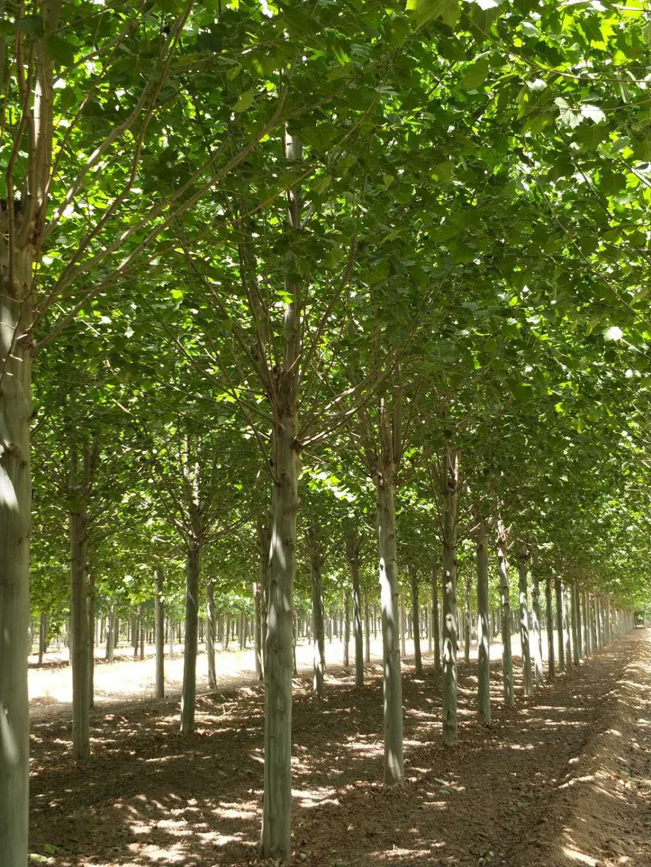 贵州法桐树