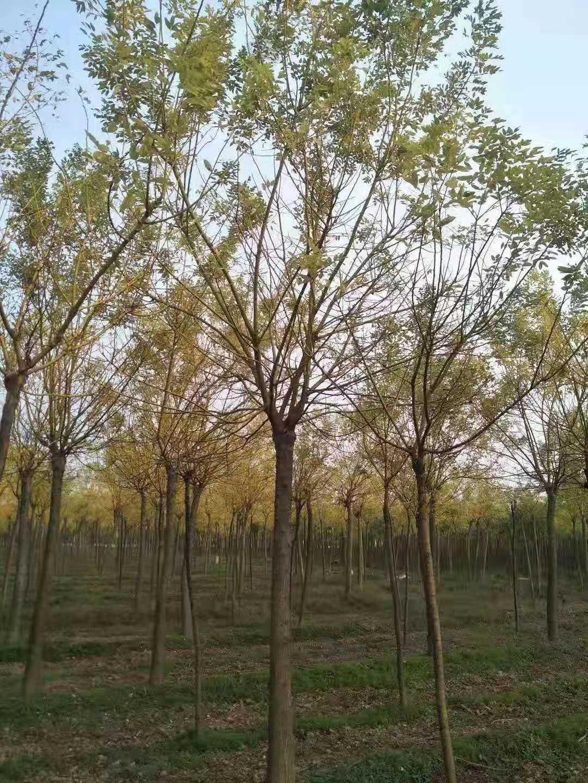 广州18公分金枝槐