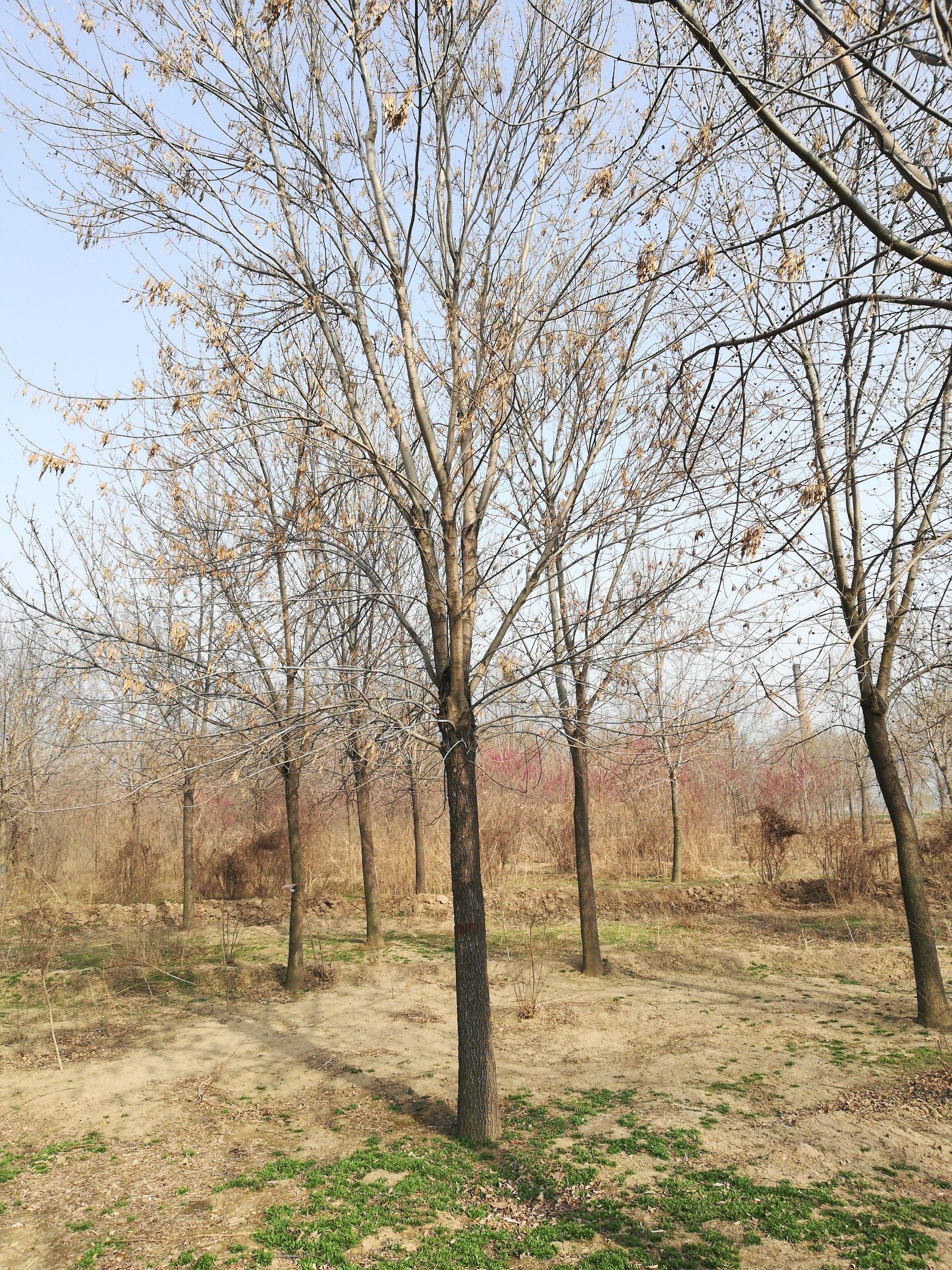 贵州白蜡树