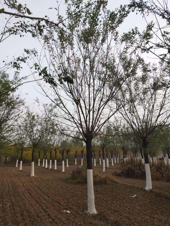 贵州国槐树苗