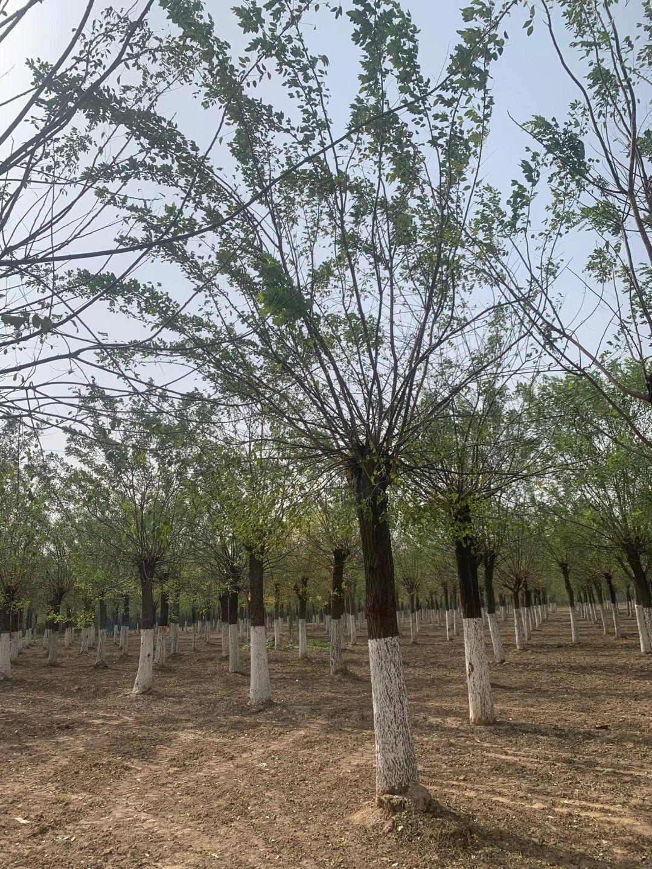 贵州国槐树