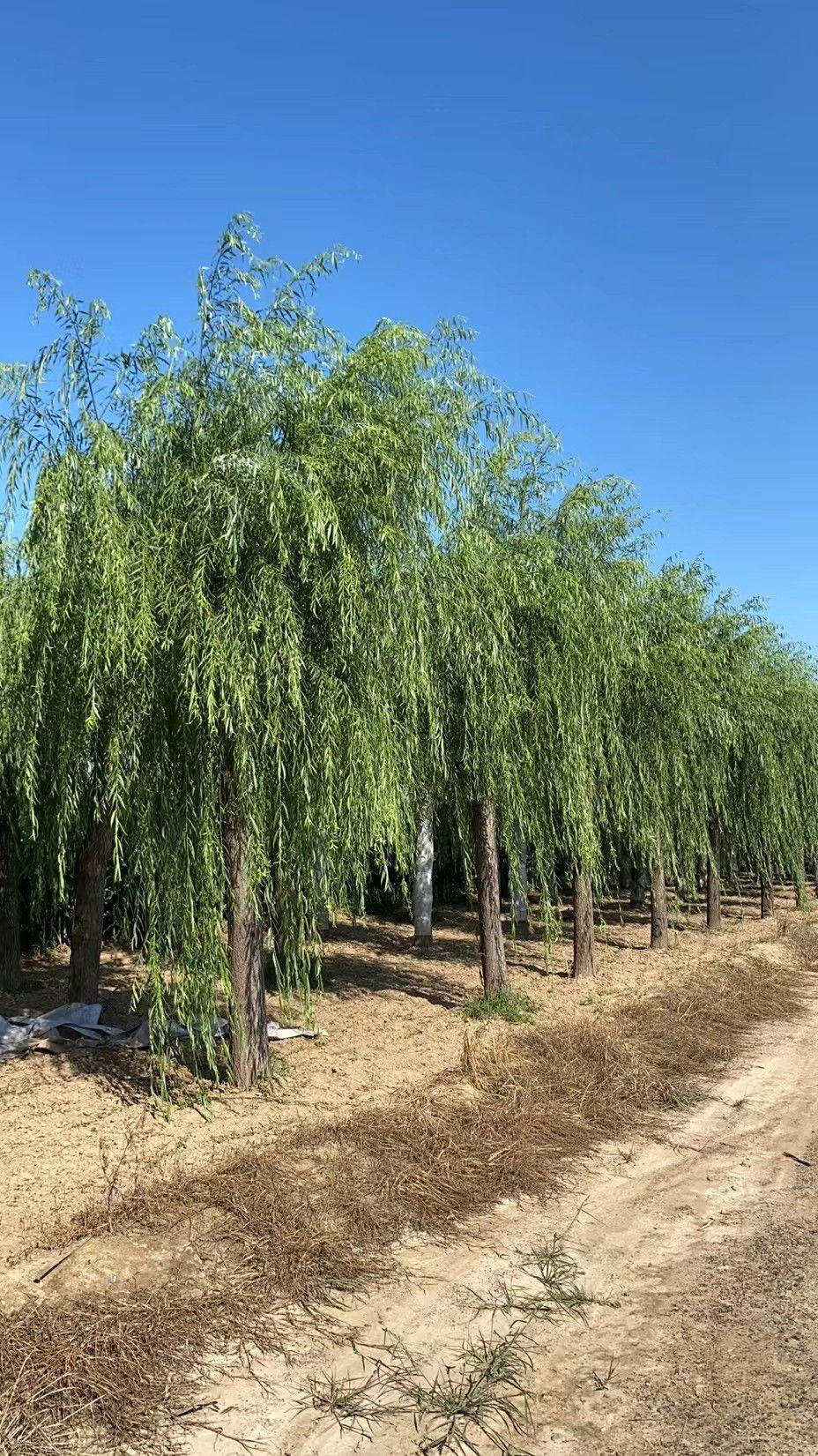 贵州垂柳树苗